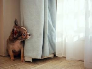 カーテンと犬
