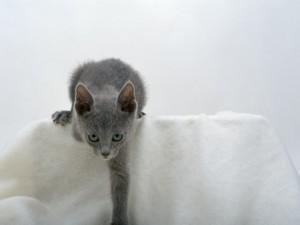 ロシアンブルー 猫